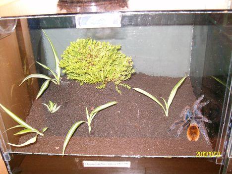 Chromatopelma cyaneopubescens nőstény új helye