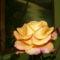 narancssarga rozsa