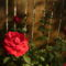 voros rozsa