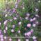 Asztilbe(sziklakerti növény teljes pompában) 1