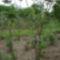 Datolyaszilvafa