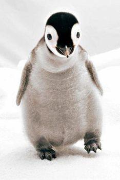 Császár Penguin, 900 gramm,  17,7 cm .Ez a huszonegyedik sikeres születése császár pingvin anyának a San Diego-i Állatkertben Észak-Amerikában.