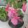 Körösi Erzsébet  Zsu  virágai