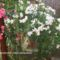 Oleanderek