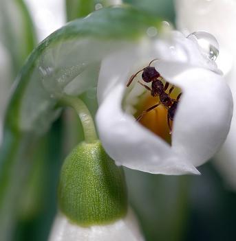 Hangya hóvirágbölcsőben