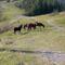 Bódorgó lovak