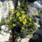 Homoki pimpó sárga virágai a mészkő sziklákon