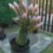 virágzó kaktusz 4