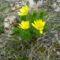 Aranysárga tavaszi ragyogás
