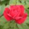 Virágaim_17