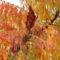 Bálvány fa termése