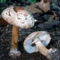 piruló őzlábgomba kerti változata 2