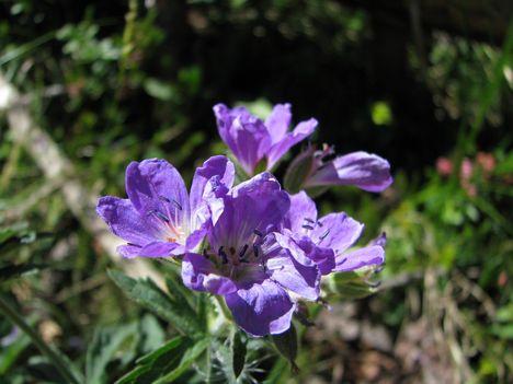 alpesi virágok