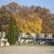 Ezekben a napokban sok ilyen őszülő fákkat lehet látni a temetőkben.