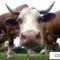 cow -tehén