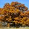 őszi fa2