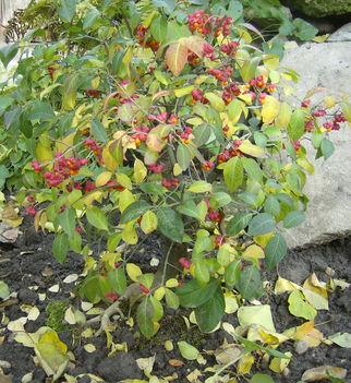 kecskerágó bonsai