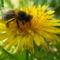 Méh dolgozó gyűjti a virágport a gyermekláncfű virágáról