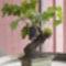 Bonsai szőlő