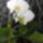 Kósa Ica - Kedves virágaim