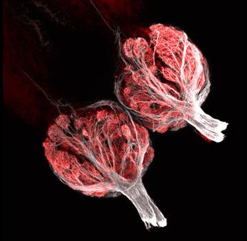 A zebrahal szaglósejtjei
