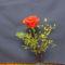 lehújabb rózsám