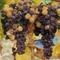 Tőkén lévő aszúsodott szőlőfürtök
