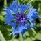 centaurea_cyanus_Virág