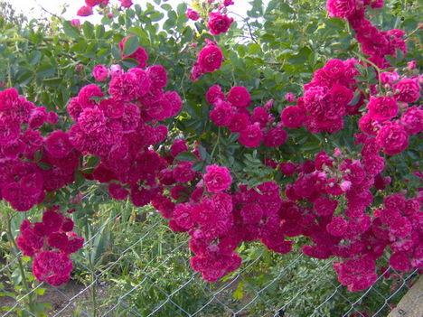 Futó Rózsám