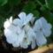 Fehér muskátli