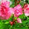 Leander virág