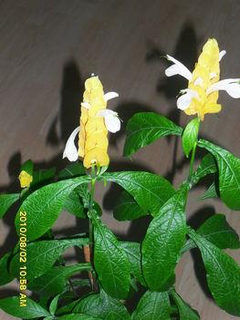 Nyalóka virág