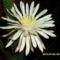Oszlopkaktusz virág