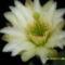 Oszlopkaktusz virág közeli