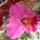 Cattleya_hibrid_955567_24726_t
