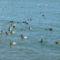Kacsák a Balatonfüredi kikötőnél