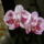 Melvyra virágai