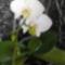 Fehér orchideám