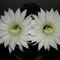 két fehérvirág