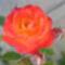 Tüzes narancs rózsa