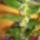 Dendrobium_nobile_2010_nov_16_961260_33538_t