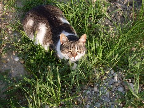 A falu legkövérebb macskája