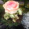 Rózsaszál!