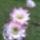 Rohmann Edit  virágai