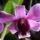 Dendrobium_979951_44154_t
