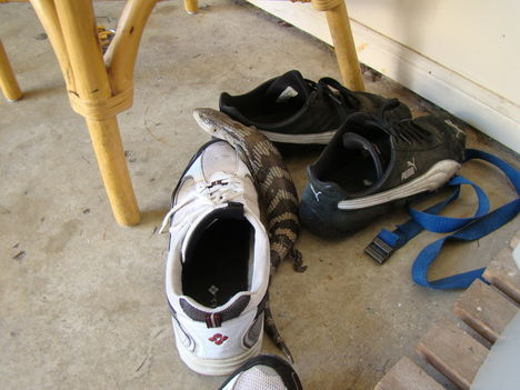 Egy kéknyelvű gyík próbálgatja a cipőimet :)
