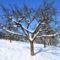 almafák téli tájban