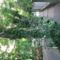 A borostyán fantasztikus növény
