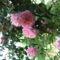 Gyökérnemes kedvenc rózsám
