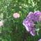 Rózsaszín lila romantika - rózsa és vanilia virág